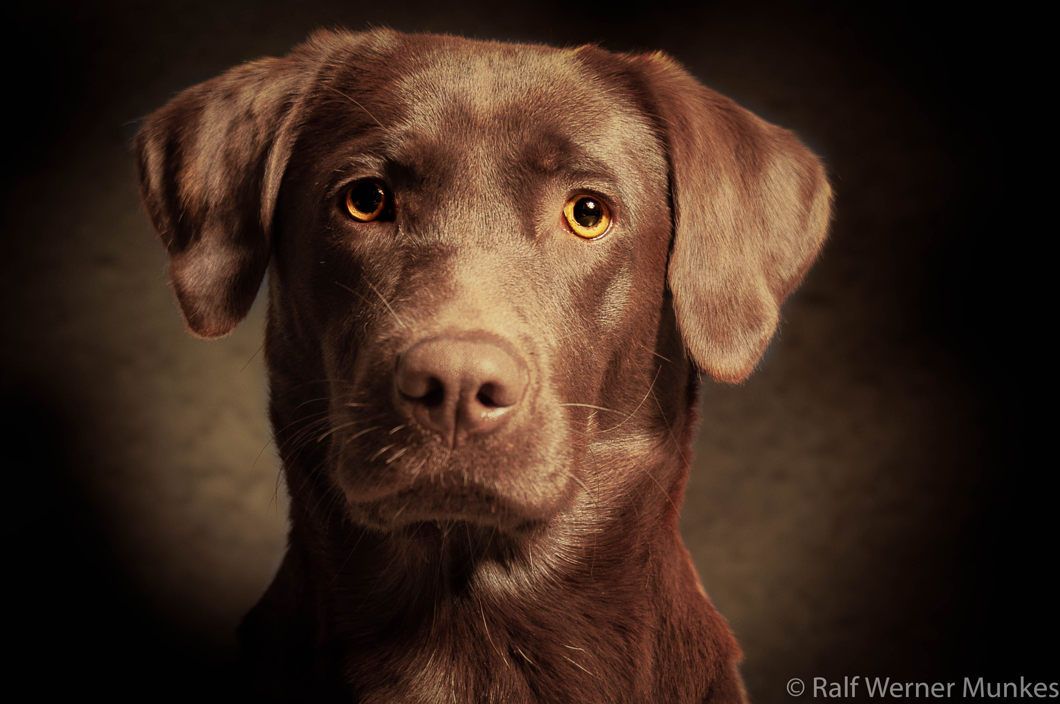 Labradorhundin