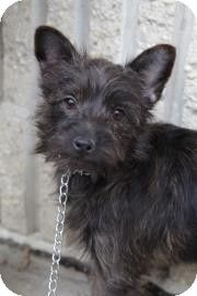 South River Nj Yorkie Yorkshire Terrier Chihuahua Mix Meet