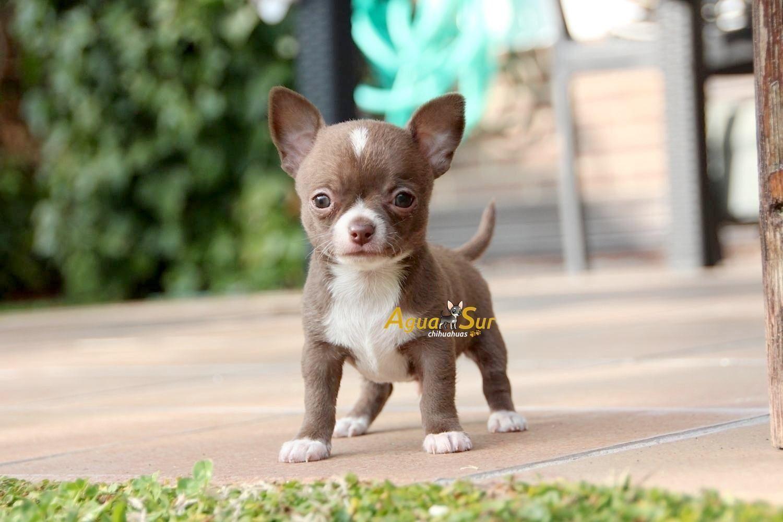 En Chihuahuas Chocolate No Es Facil Encontrar Machos Mini Tan