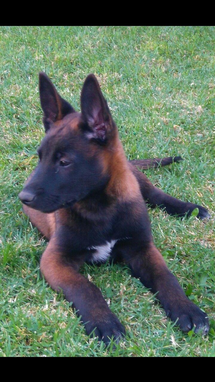 Rauber Malinois Dog Belgian Malinois Dog Malinois Puppies