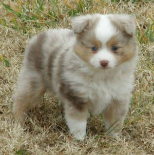 Justa Little Aussie Toy Mini Australian Shepherd Miniature
