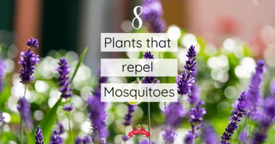 8 Plants that Repel Mosquitoes #plantsthatrepelmosquitoes 8 Plants that Repel Mosquitoes: Deter mosquitoes naturally with these plants that repel mosquitoes. From beautiful bee balm to fragrant basil,  keep mosquitoes away naturally! #plantsthatrepelmosquitoes