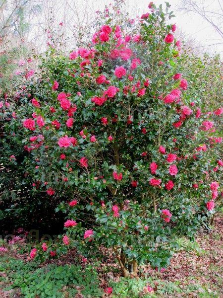 Camellia Williamsii 'Anticipation' 4m