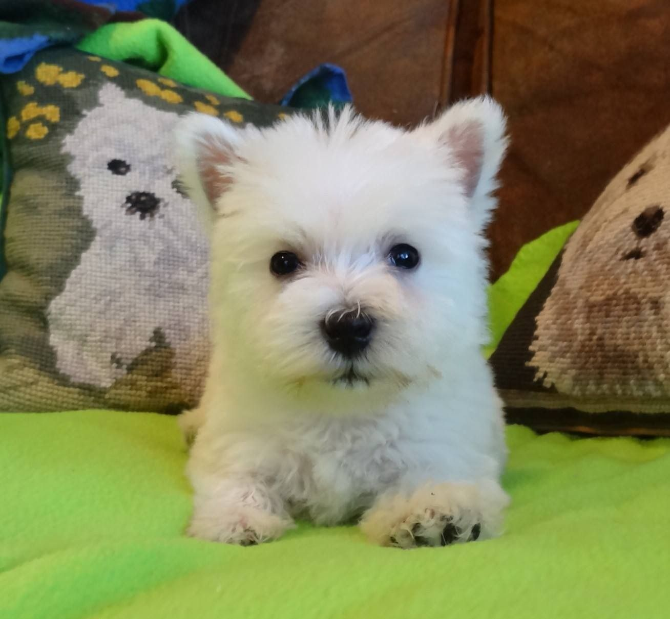 Graphics and More - West Highland Terrier Westie Dog Breed Puppies In Idaho USA