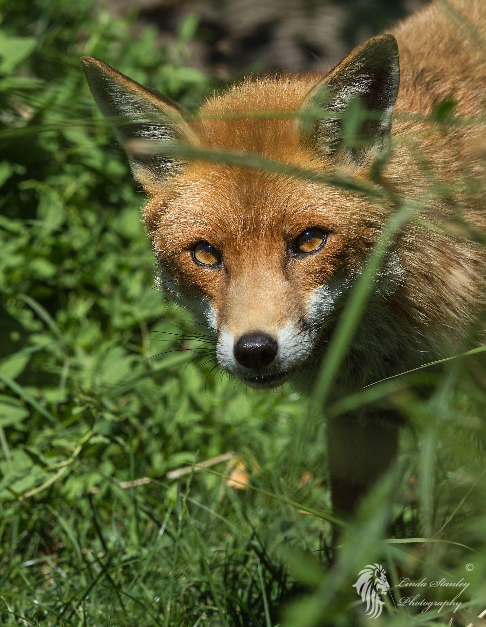 Curiosity - Curious Fox
