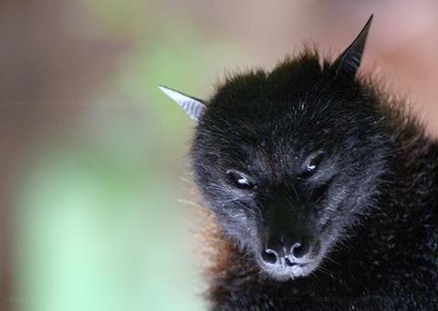 Beautiful The Wolf Bat Looks Like A Small Fox Halloween