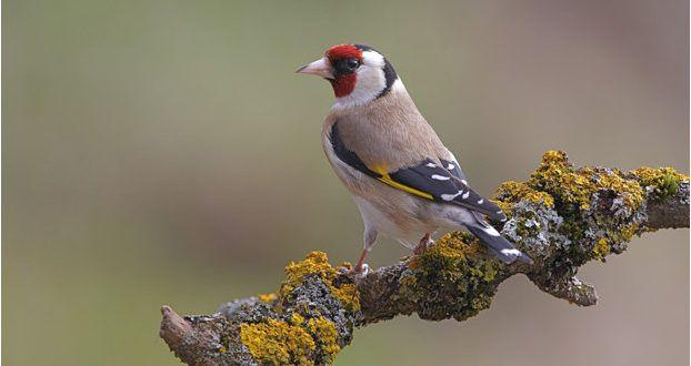 صور طائر الحسون خلفيات طائر الحسون صاحب الصوت المذهل موقع حصري Animals Goldfinch Bird