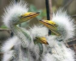 Aves.blancas