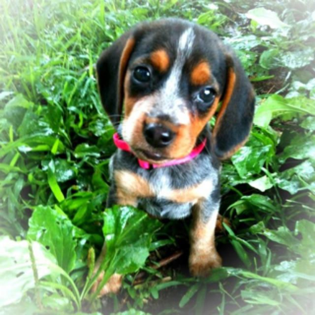 Bella A Blue Tick Beagle Blue Tick Beagle Cute Beagles Beagle