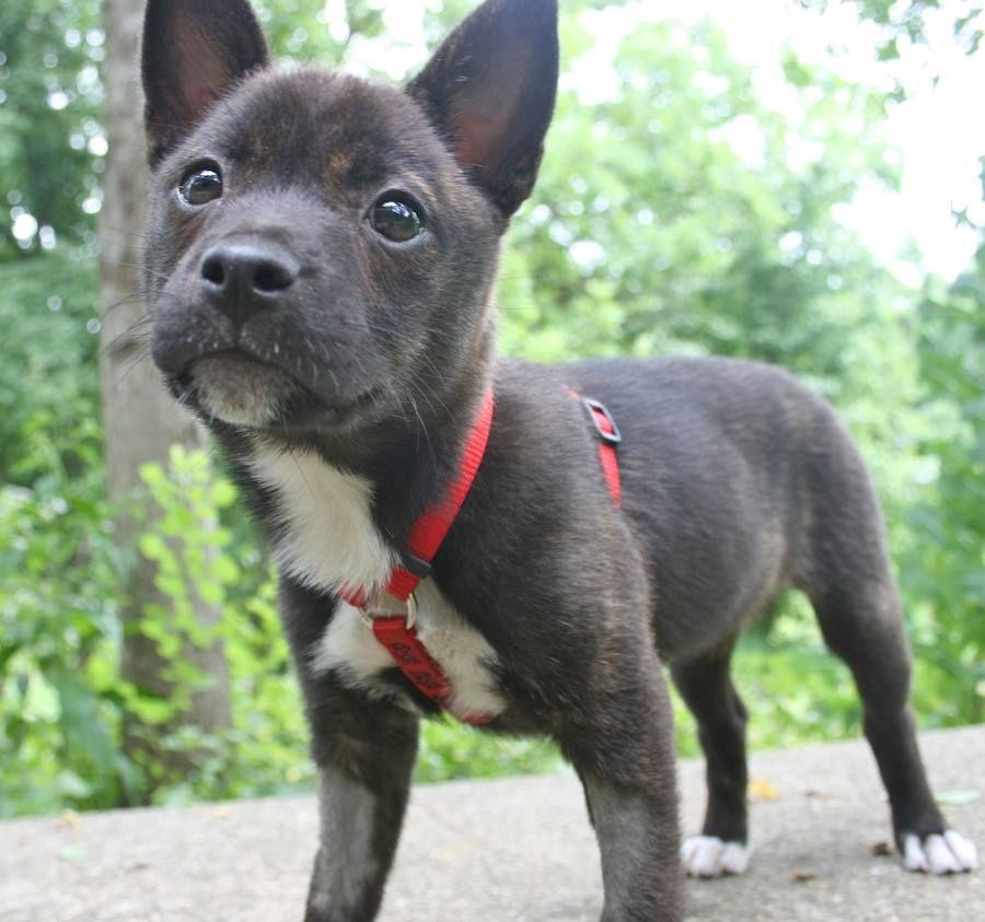 Pomeranian And Boston Terrier Mix Terrier mix, Pitbull