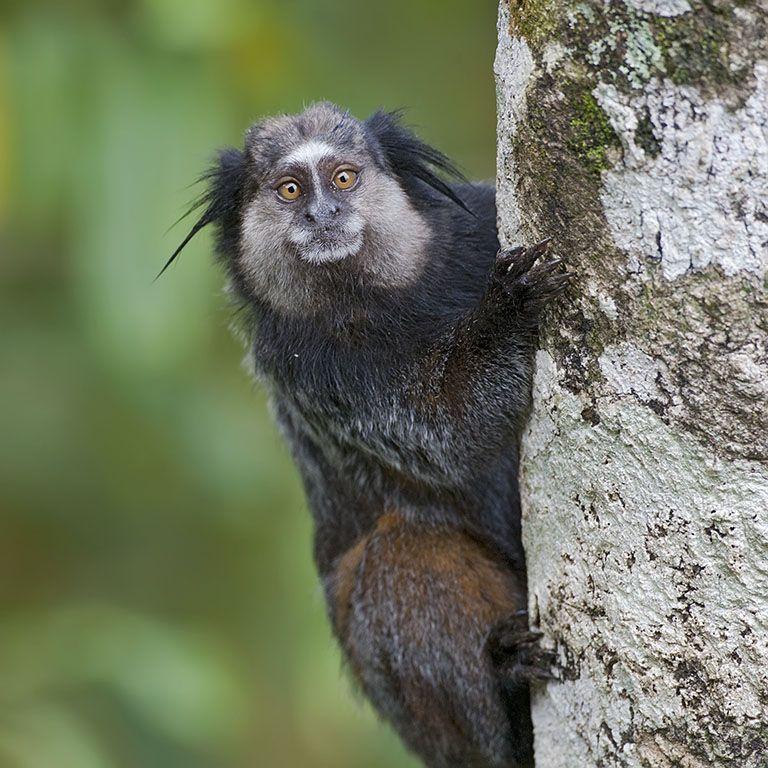 wied's blacktuftedear marmoset Animals beautiful