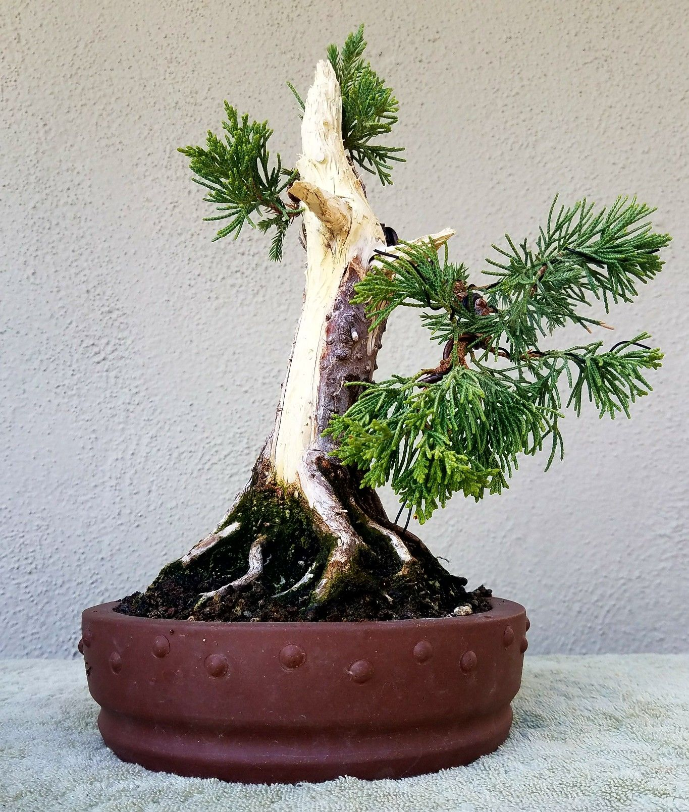 Cool Picture 4 I Did Some Pruning And Wiring On My Shohin Prostrata Wiring 101 Capemaxxcnl