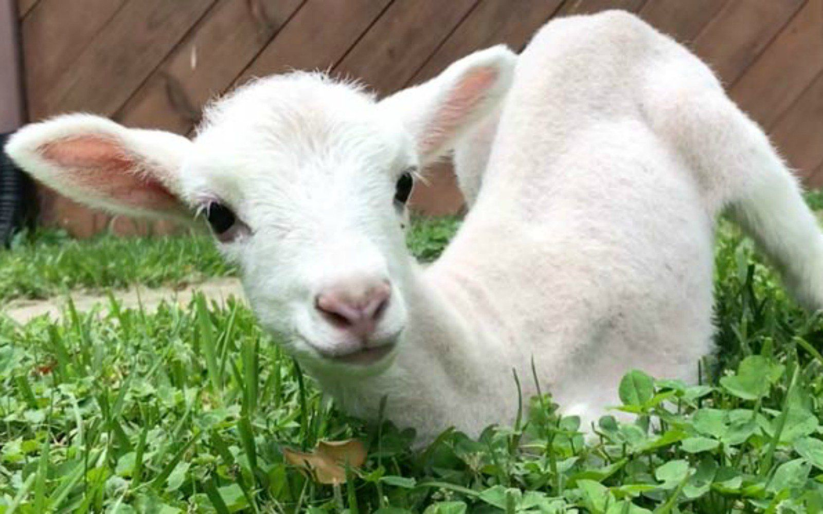 When This Sheep Farmer Met A Lamb Born Without Front Legs