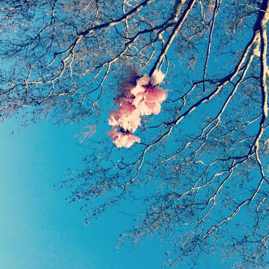 Lone Cherry Blossom.