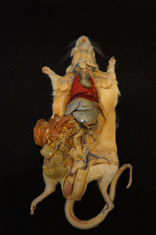 Plastinated White Rat Dissection Display Specimen Plastination Is A