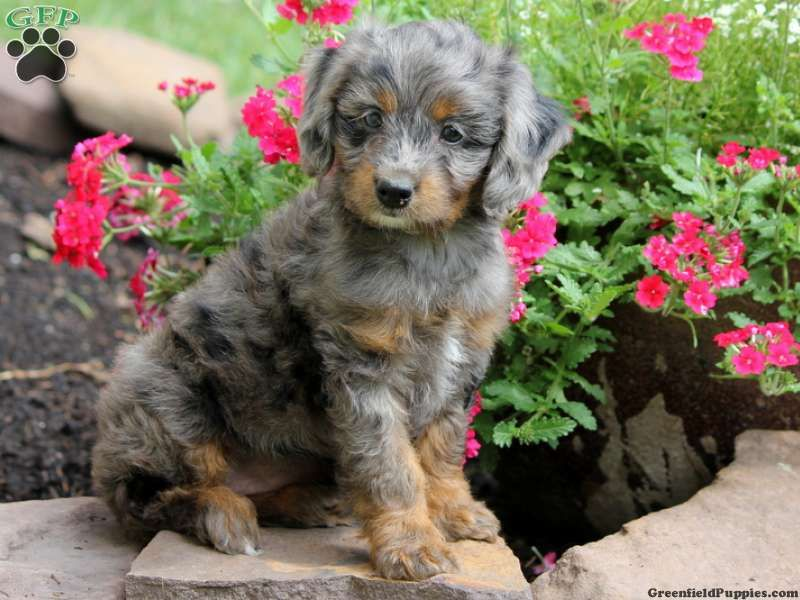 Grace - Aussiedoodle - Miniature Puppy For Sale in Pennsylvania