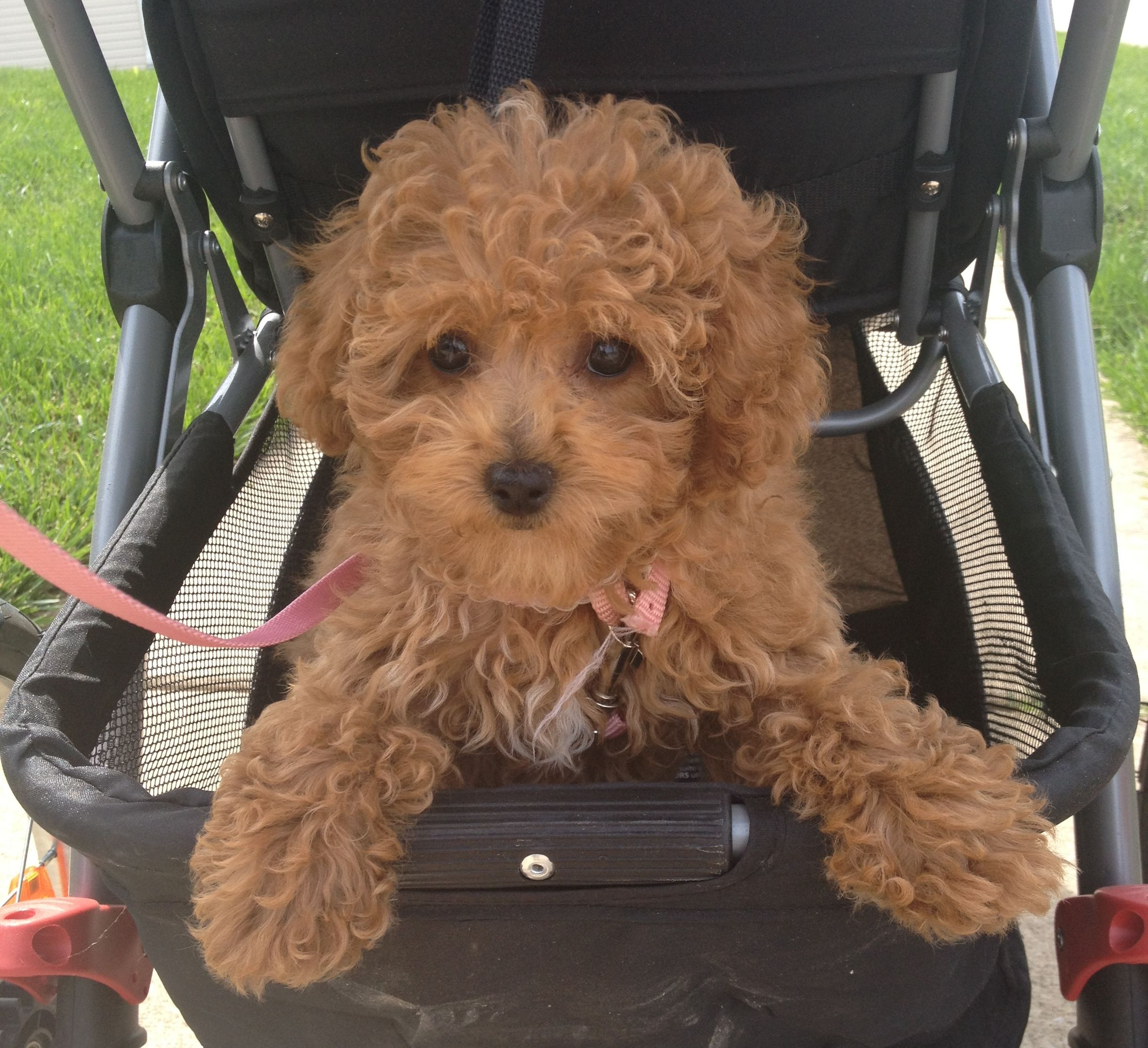 "Our Fiona (aka FIFI) taking her morning ""WALK"" apricot toy poodle"