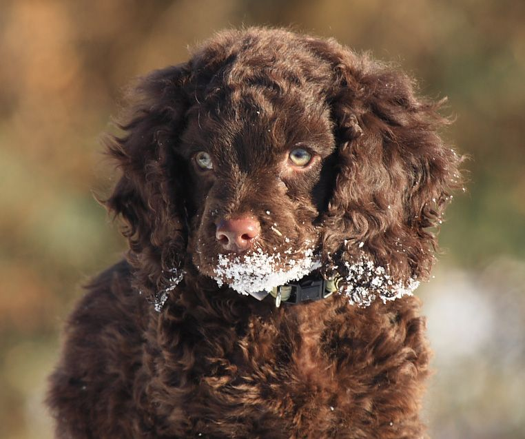 American Water Spaniel Puppies Usa All Puppies Pictures And American Water Spaniel Spaniel Puppies Irish Water Spaniel