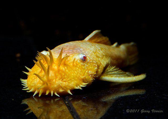 Albino Leucistic Xanthic Melanistic Etc Fish Page 33 Plecostomus Aquarium Fish Fresh Water Fish Tank