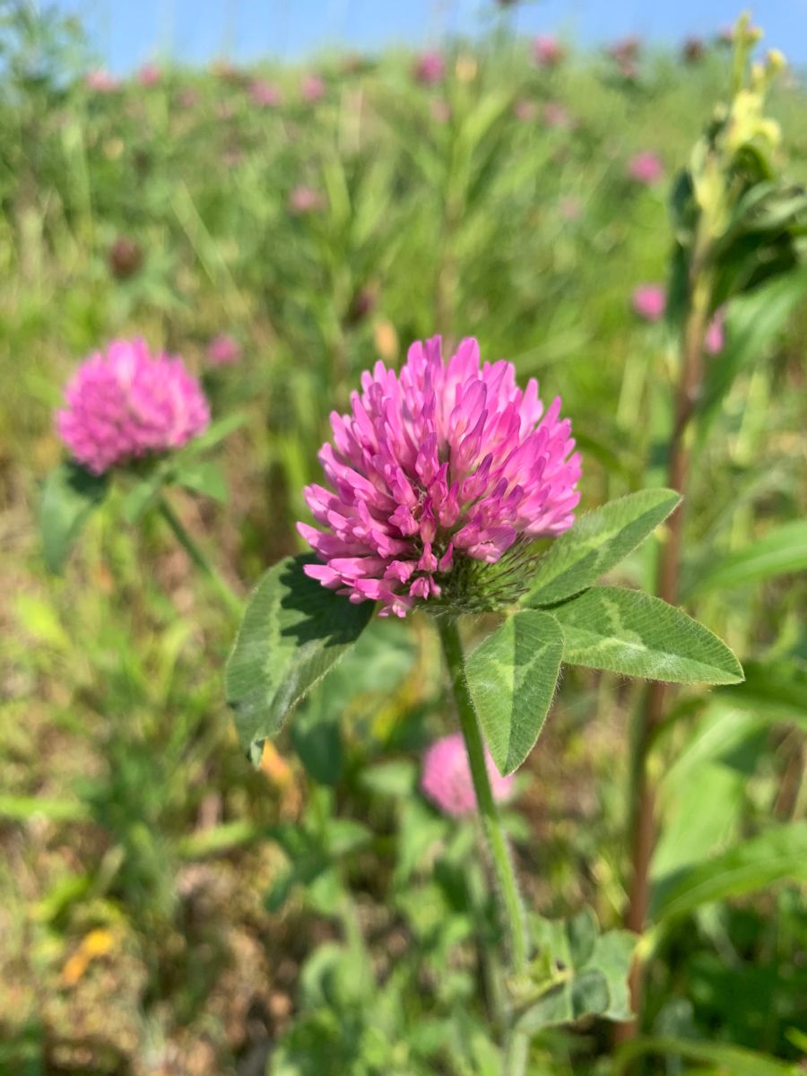 ムラサキツメクサ 紫詰草 和名 アカツメクサ 季節の雑草 5月 雑草 アカツメクサ 植物