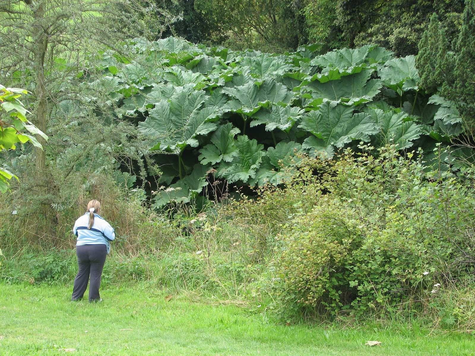 Giant Gunnera Plant Giant Leaves Of Nalca Gunnera