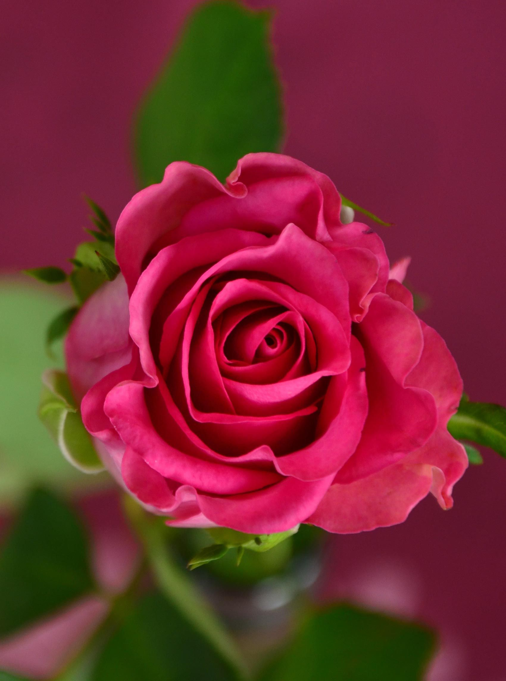 beautiful pink rose flower picture | photography | pinterest | rose