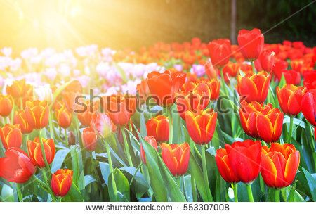 tulips in the park. soft-focus in the background. over sunlight