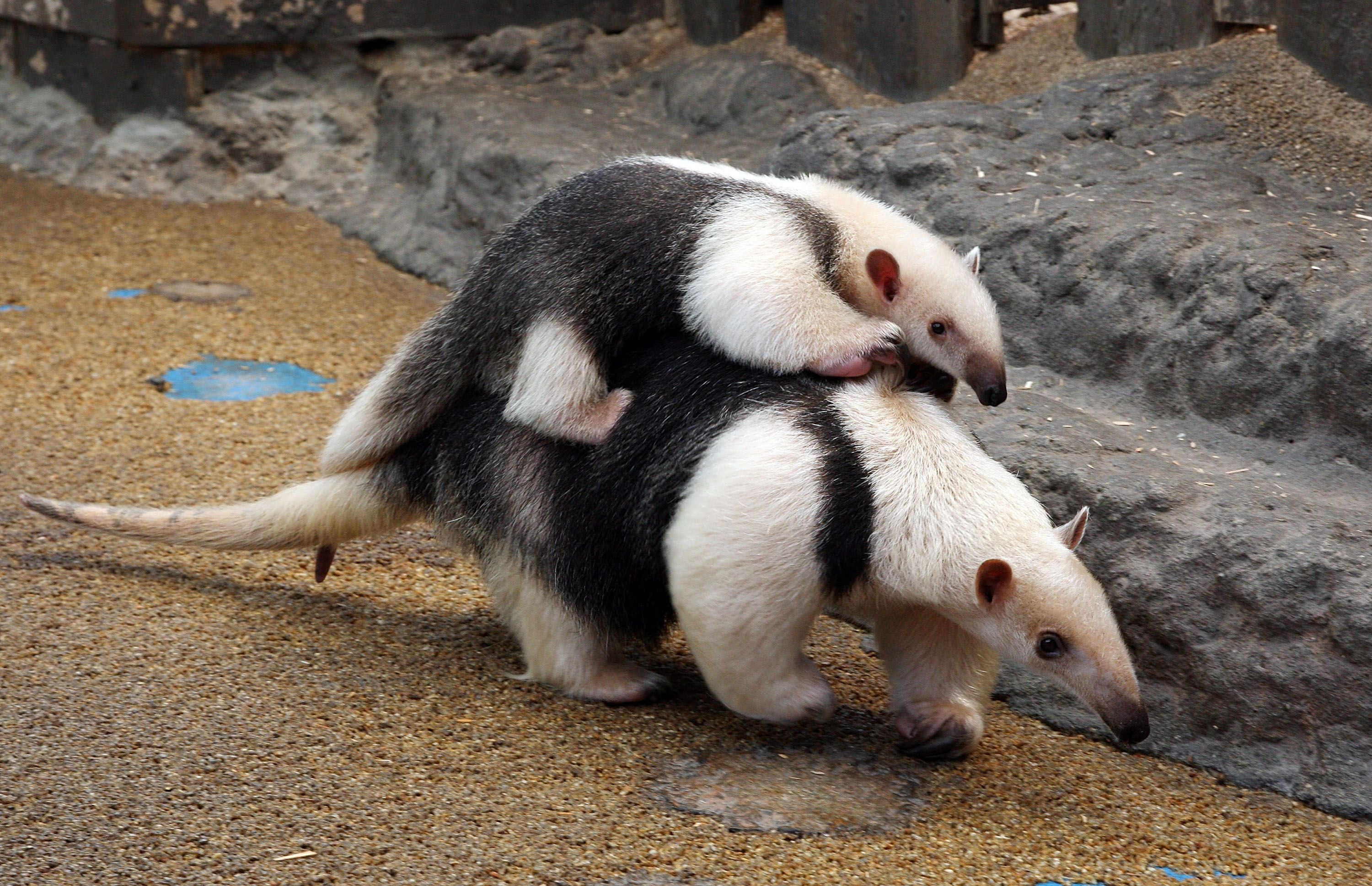 Southern Tamandua Anteater Animals Friends Animals Wild