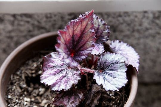 How To Cultivate Rex Begonias Begonia Plantas De Poca Luz