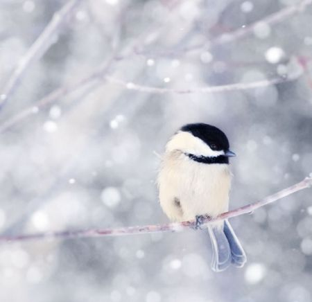 Bird In Winter Bird Photography Winter Bird Chickadee Art