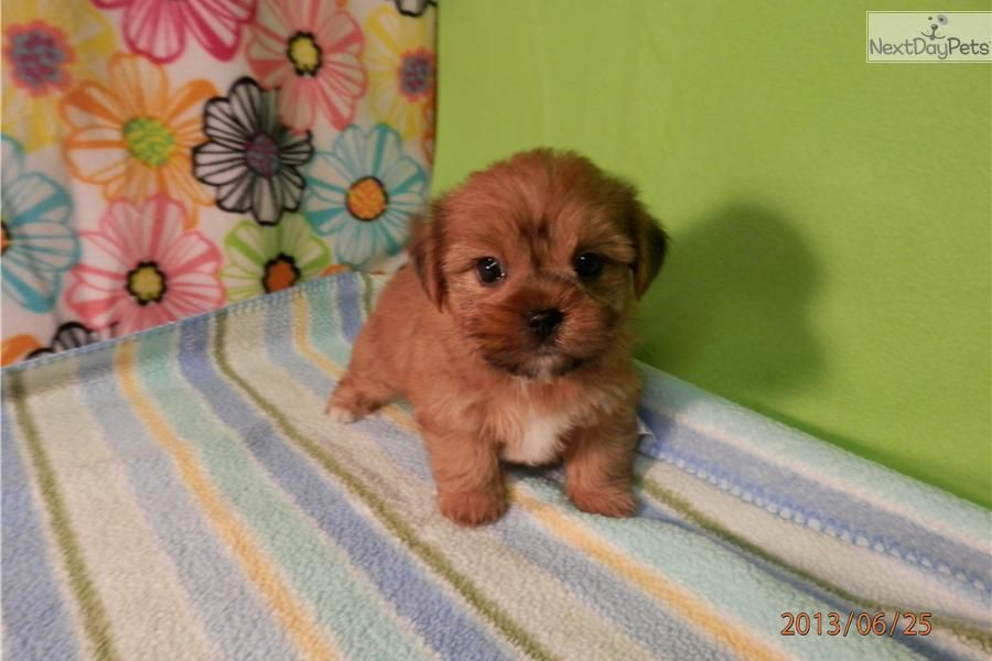 Meet Male A Cute Shorkie Puppy For Sale For 750 Bingo Shorkie Puppies Puppies Shorkie Puppies For Sale