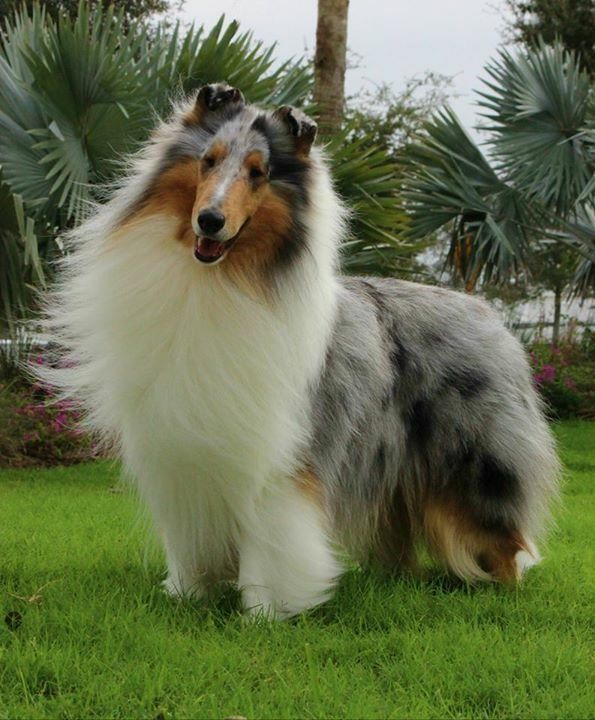 What A Magnificent Coat Rough Collie Big Dog Breeds Collie