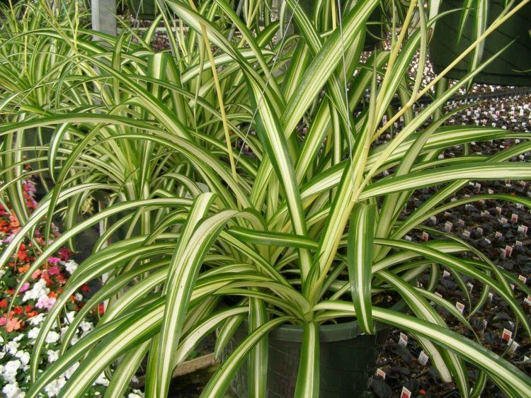 Zimmerpflanzen Wenig Licht zimmerpflanzen wenig licht gruenlilie graeser streifen weiss zart