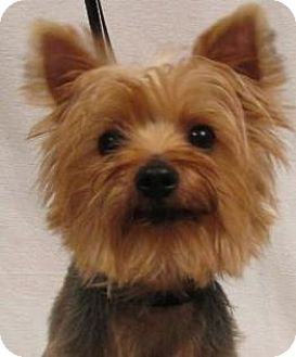 Wooster, OH Yorkie, Yorkshire Terrier Mix. Meet Yahzee