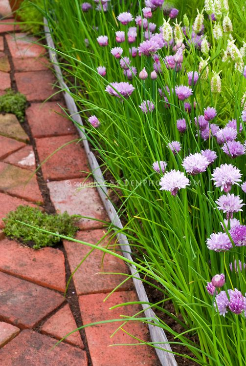 Thymus Thymes In Walkway Crevices Chives Plant Flower Stock