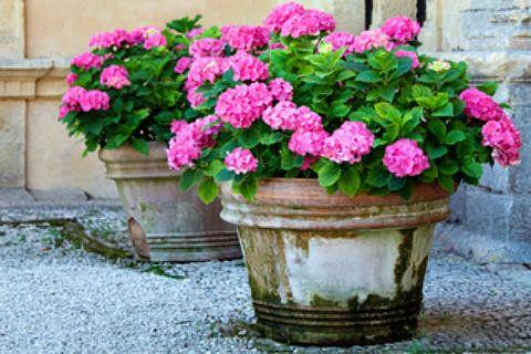 hydrangeas in patio pots - Google Search | Summer in the Garden ...
