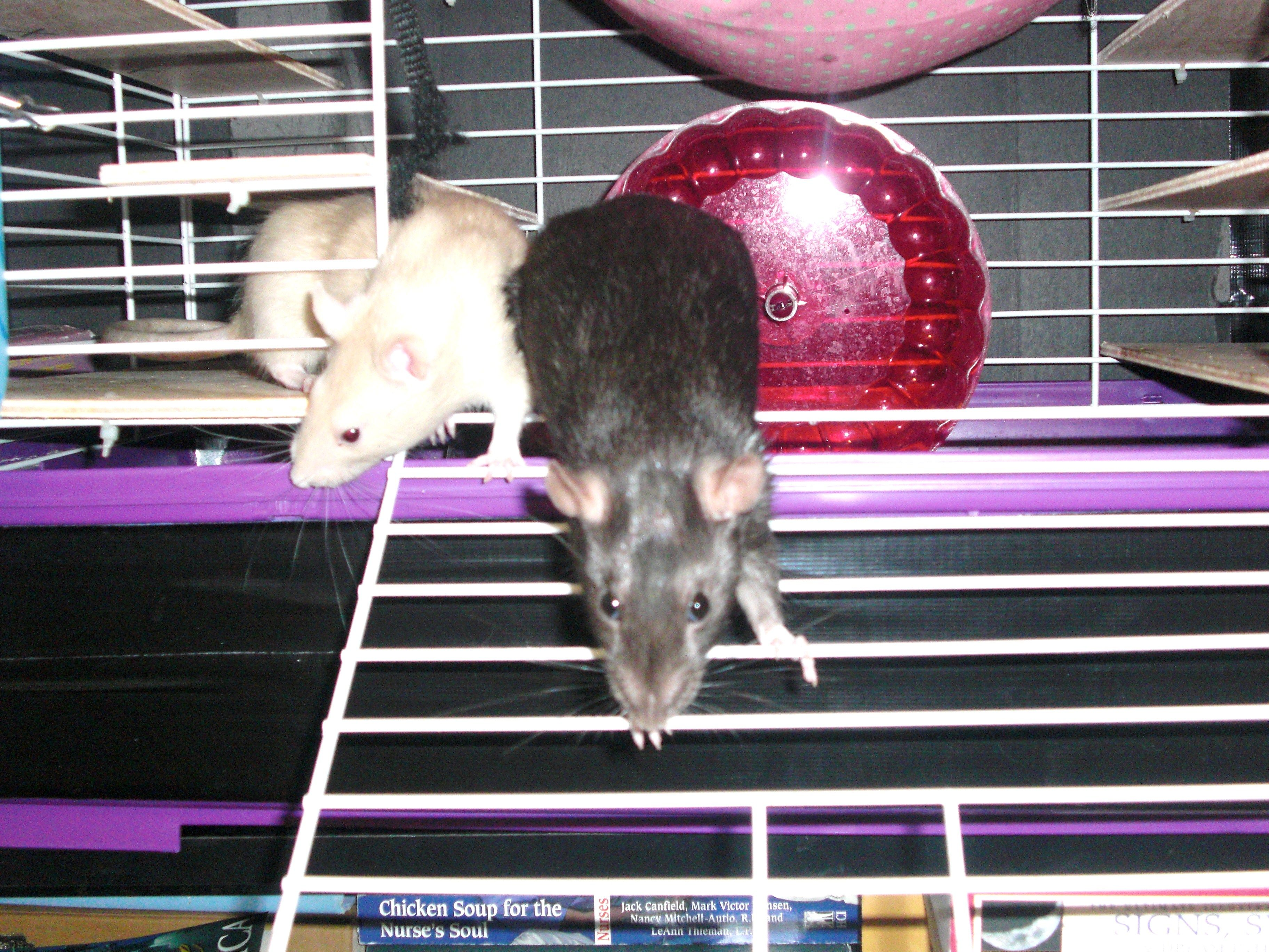A List of Safe and Dangerous Foods for Your Pet Rat Pet