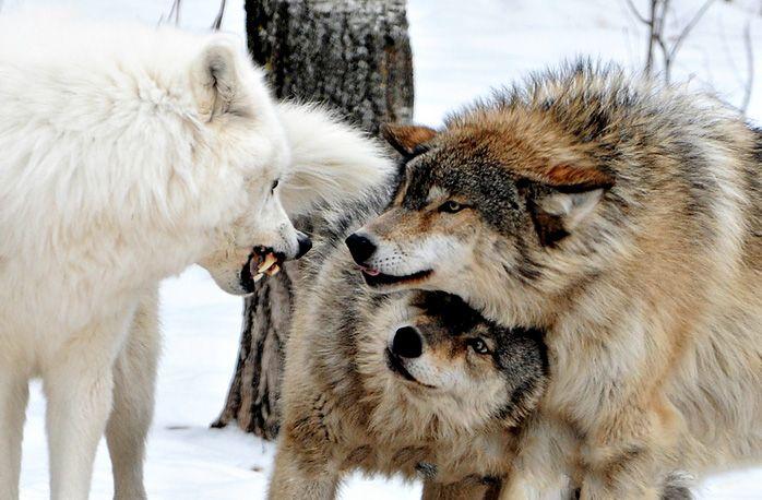Самка спряталась под самца. Взгляд у неё спокойный. Верит в своего. И не только потому, что он сильный. У этих зверей самец не может самку атаковать. Она это знает. И собой прикрывает горло своему самцу. И делает вид, что просто прячется.