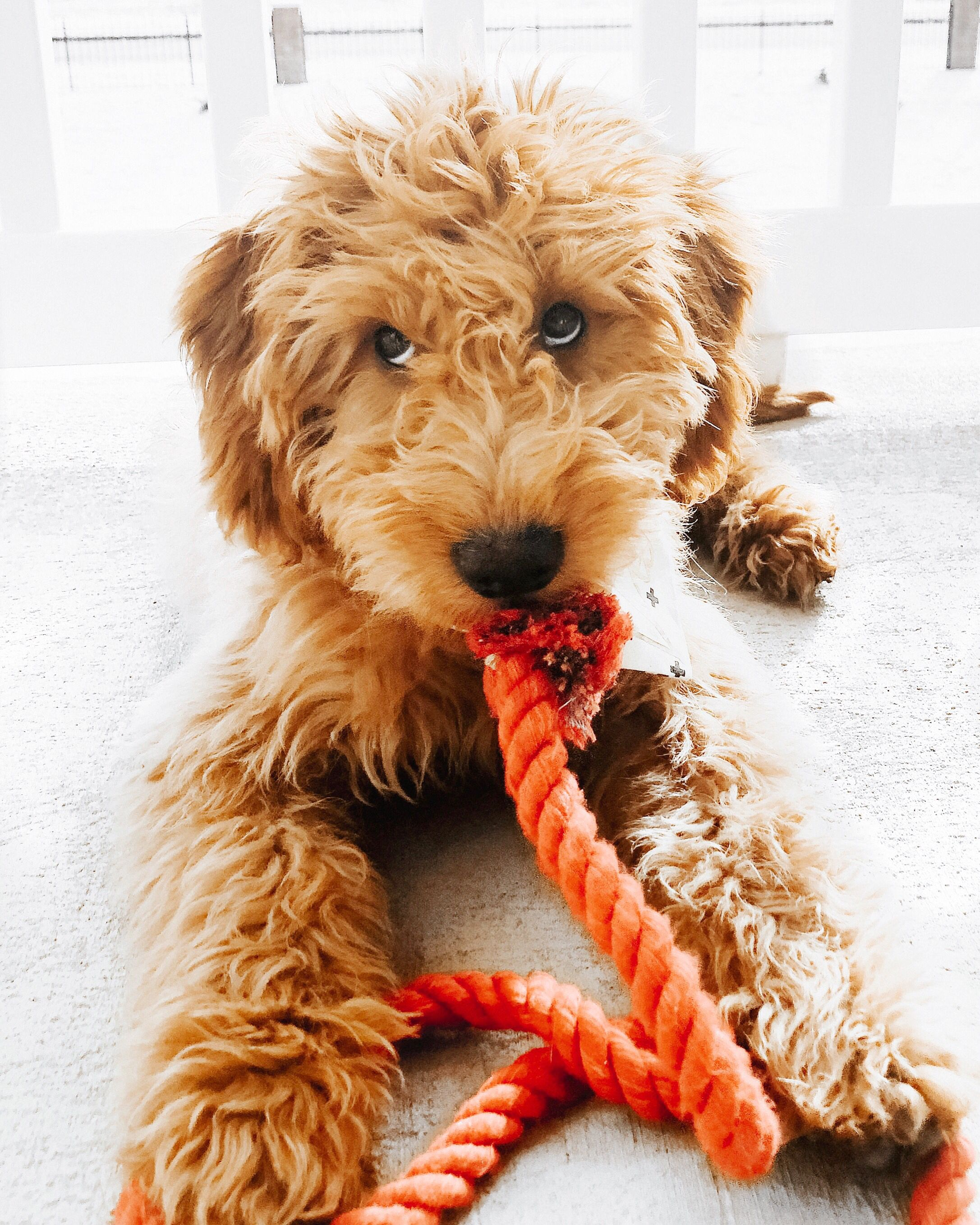 Mini Goldendoodle Mini Doodle Puppy Apricot Goldendoodle Mini