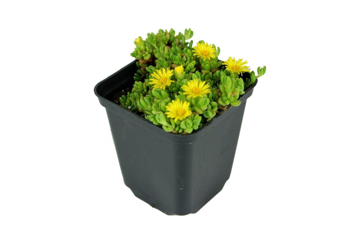 Slonecznica Wysokogorska Delosperma Lineare Albamar Plants