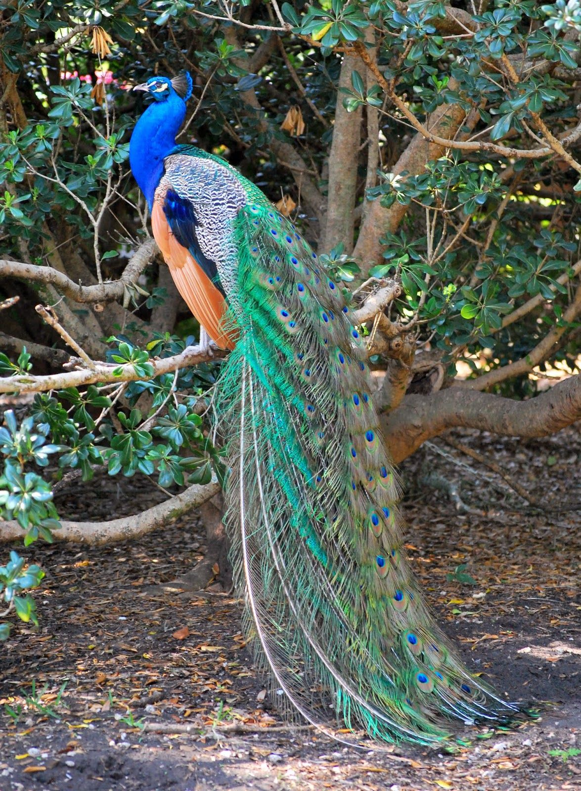 Image result for peacock tail hanging down Peacock