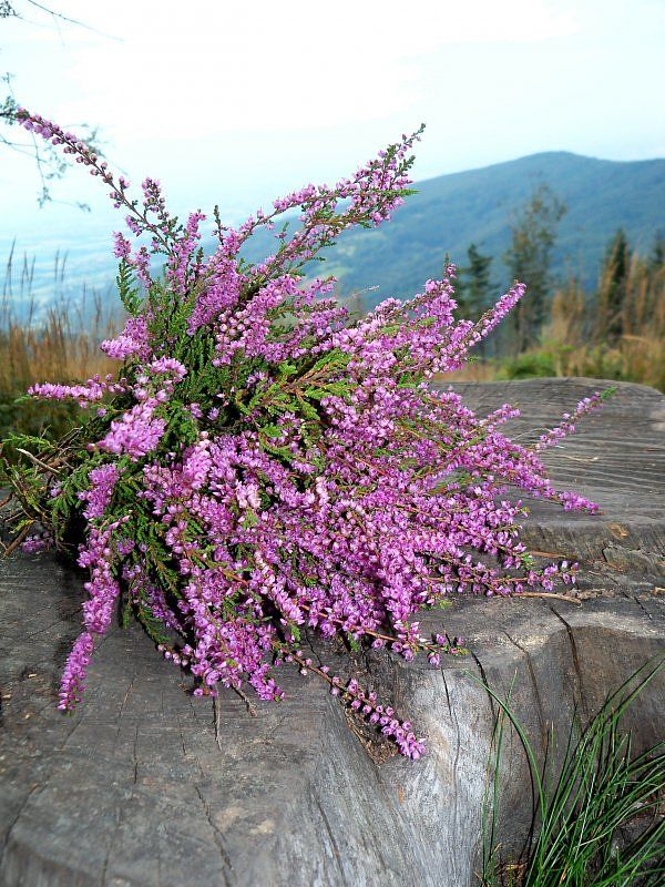 The Pantone Colour Of The Year Is Heather Plant Scottish Heather Beautiful Flowers