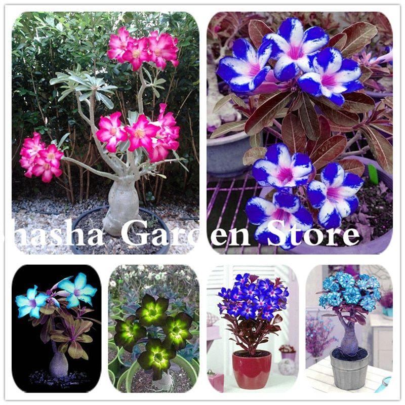 2 Pcs Bag Rare Color Desert Rose Bonsai Flower Plant Diy Garden Decoration Adenium Obesum Potted Easy To Growi Bonsai Flower Diy Garden Decor Planting Flowers