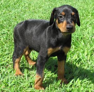 Doberman Pincher puppy!