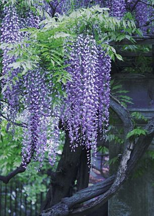 Pin By Deborah On The Language Of Flowers Language Of Flowers Vine Trellis Wisteria
