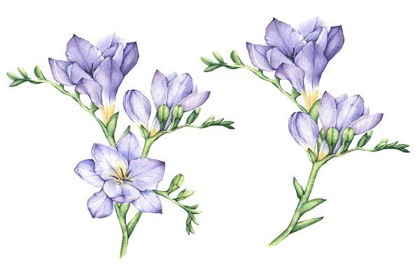 Set Of Watercolor Freesia Flowers Flower Illustration Flower Art Flower Drawing