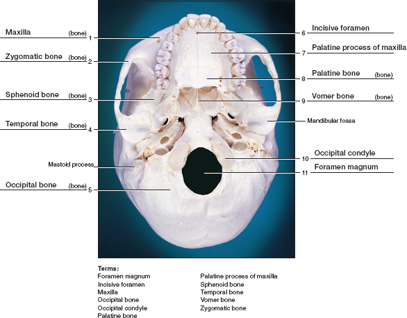 bone diagrams to label anatomy and physiology chapter 11 identify the bones and  anatomy and physiology chapter 11 identify the bones and