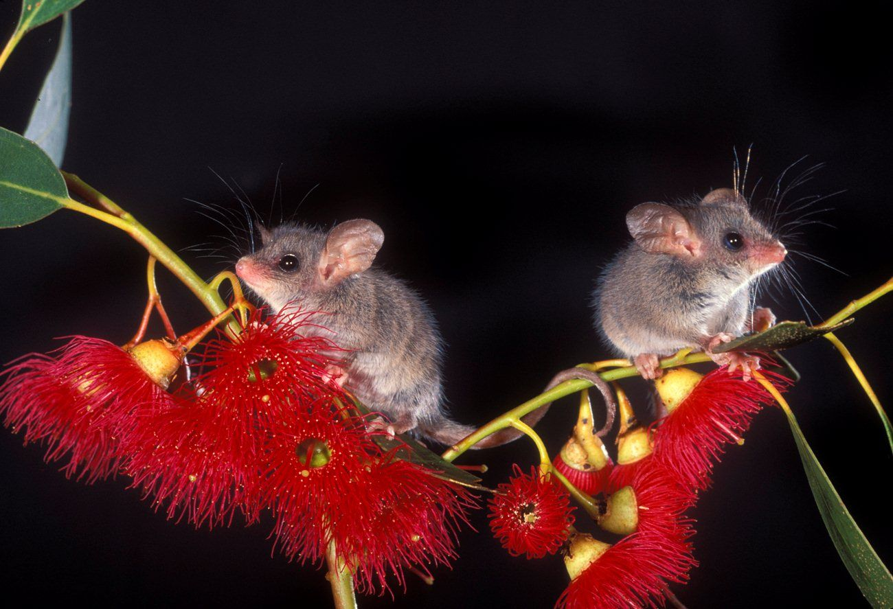 Pygmy Possums Cute australian animals, Australian native