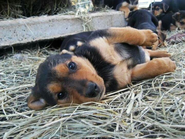 Huntaway Puppy Dogs Puppy Hound Pups Dog Puppies Retriever Dog