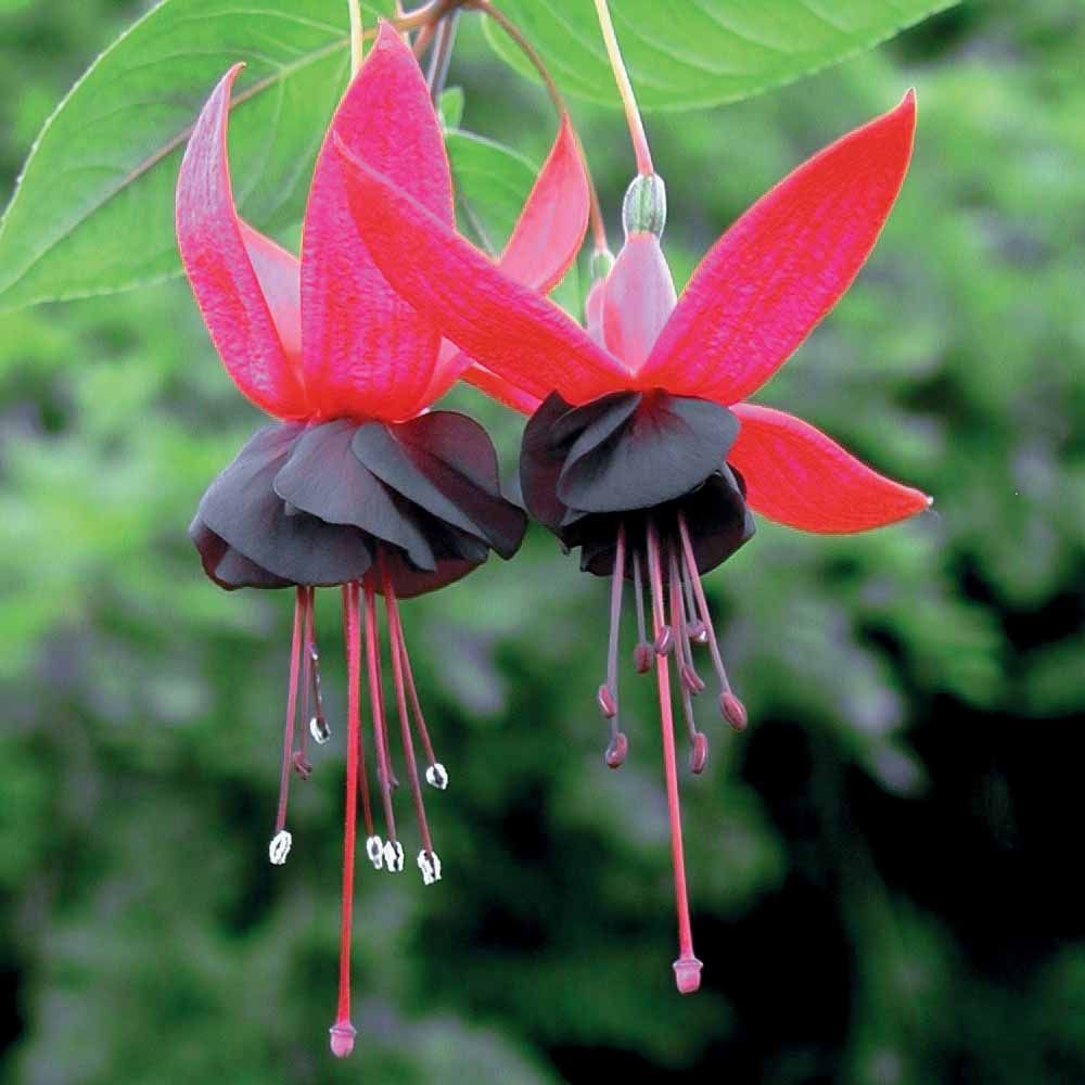 Picture of Live Fuchsia Blacky Hanging Plant Fit 5GAL Pot